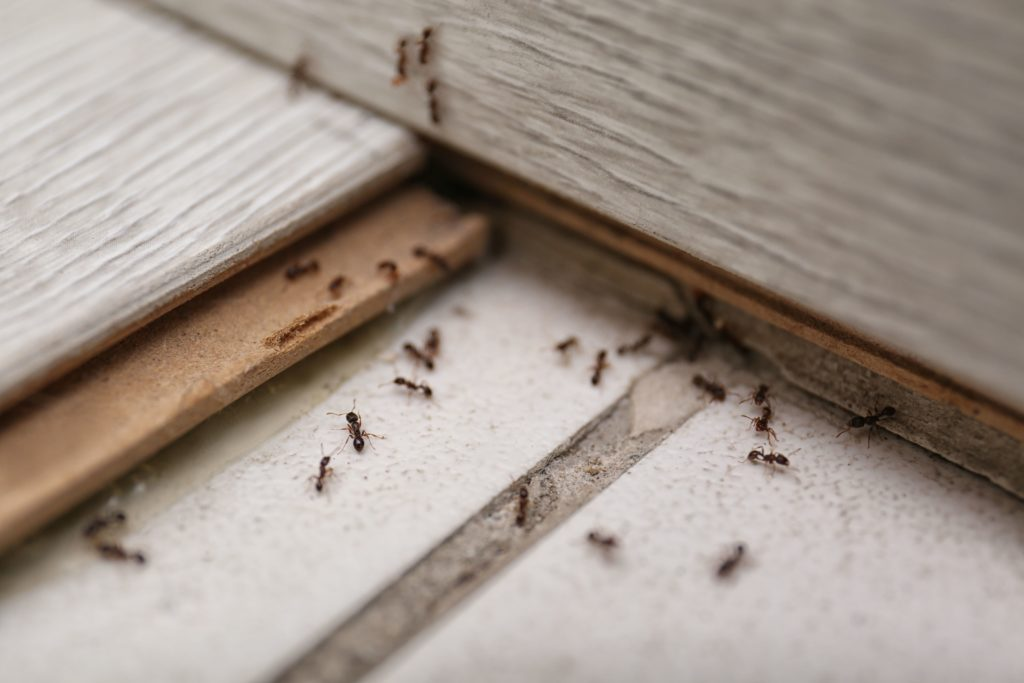 How To Get Rid of Ants In A Home