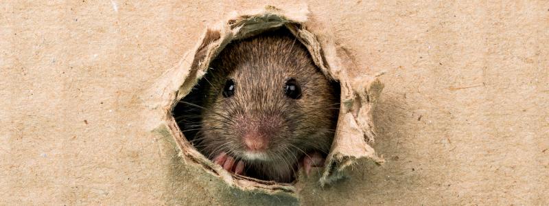 health risks of rats